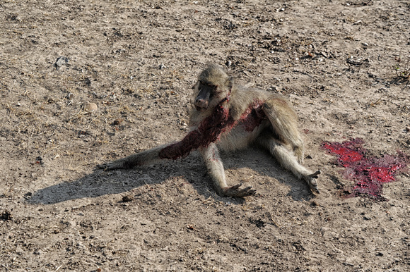 8.34 we find this wounded baboon