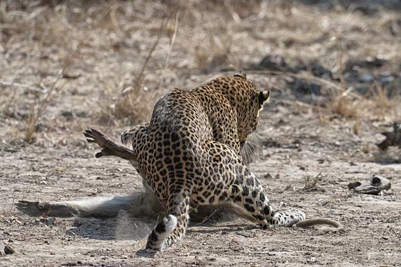 09.35 the female leopard returns