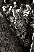 Leopard, South Luangwa, Zambia