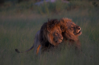 by Nicole Cambré: Gay Lions Botswana &emdash;